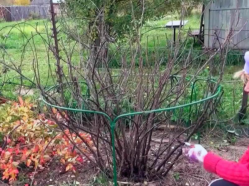 На фото: куст черной смородины осенью