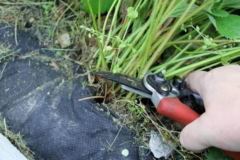 На фото: уход за клубникой после сбора урожая (обрезка усов клубники)