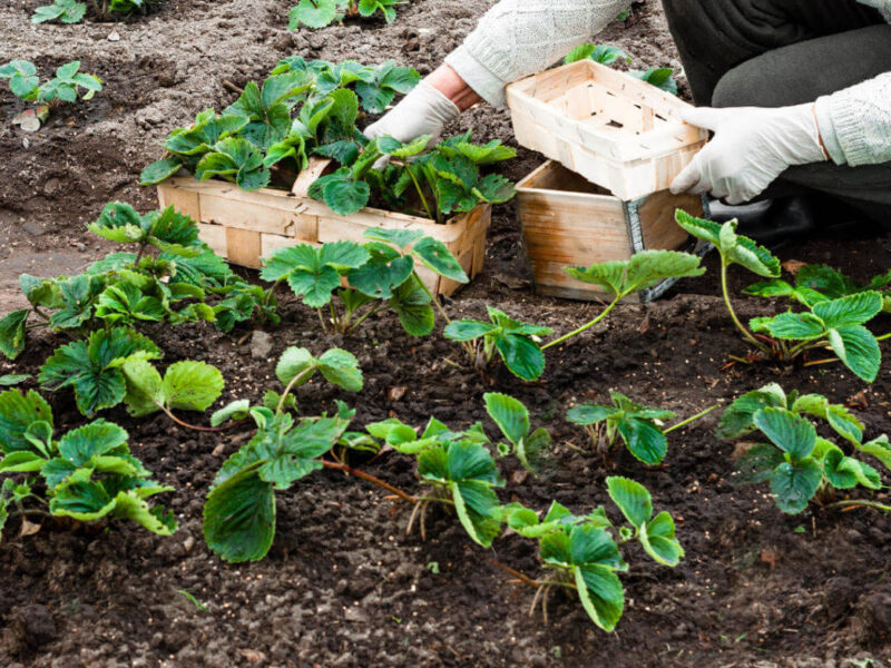 На фото: посадка клубники осенью в открытый грунт