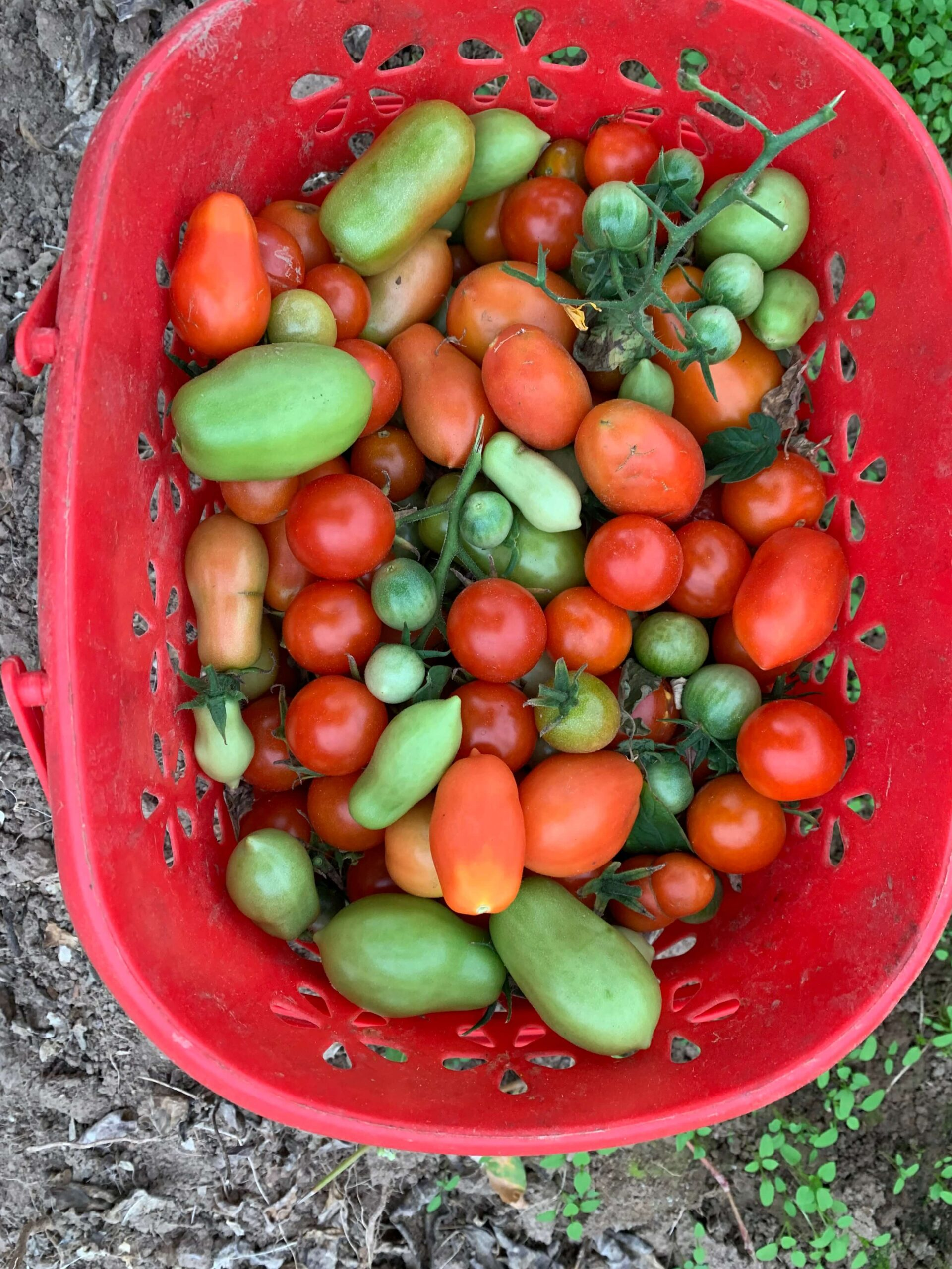 На фото: урожай помидор