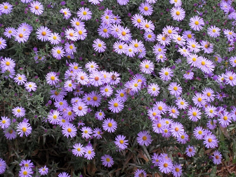 На фото: цветы многолетней астры