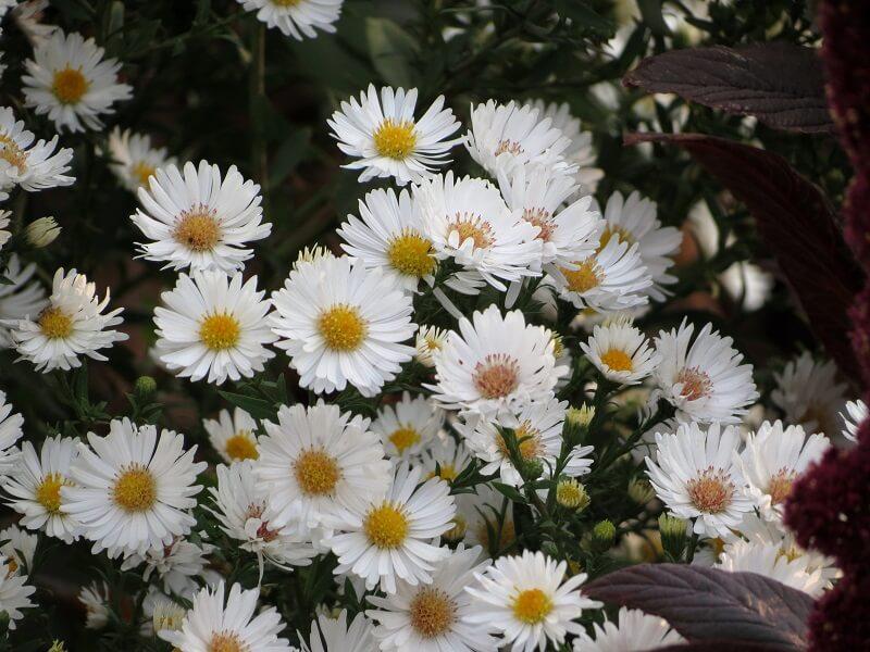 На фото: цветы астра многолетняя