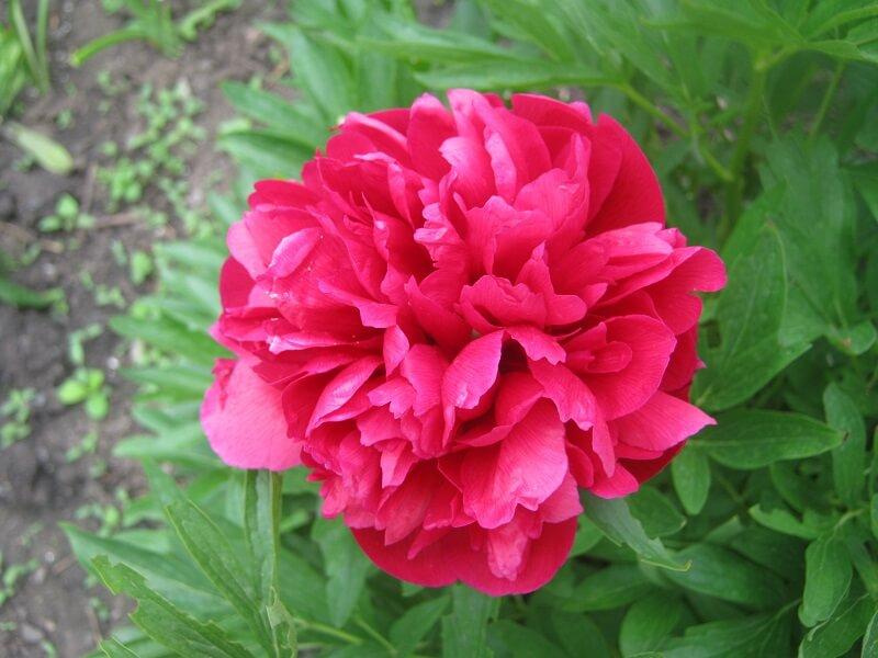 На фото: цветок пиона