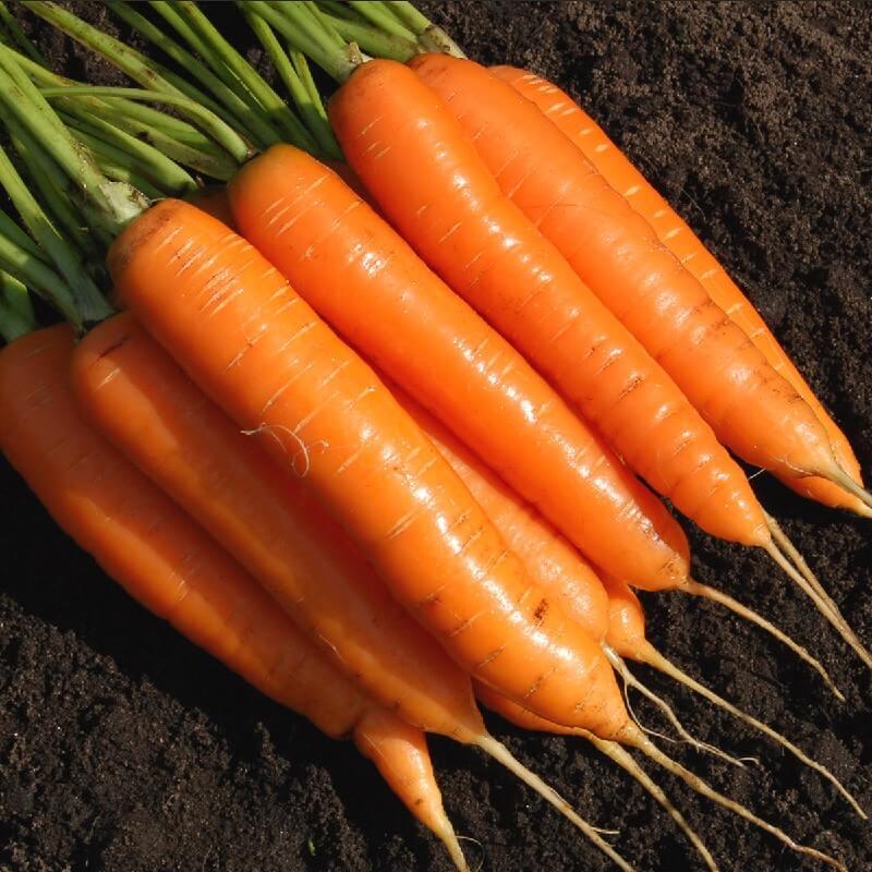 На фото: сорт моркови Лосиноостровская