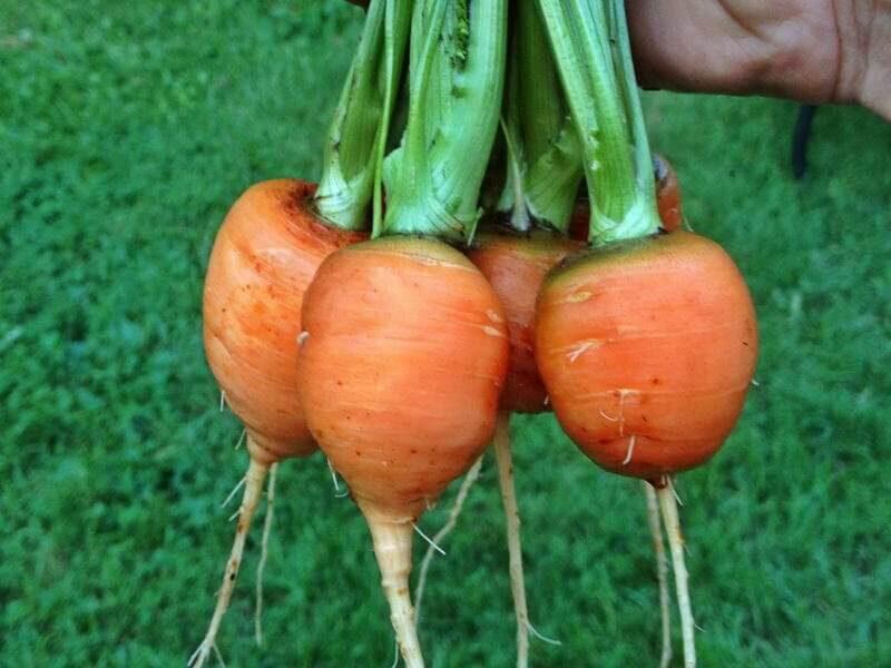 На фото: сорт моркови Полярная клюква