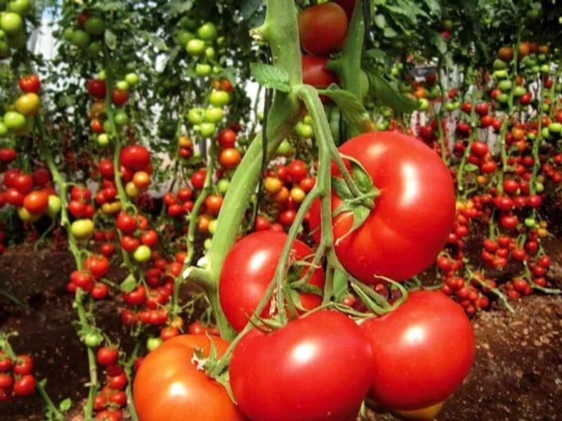 На фото: помидоры растут на ветке