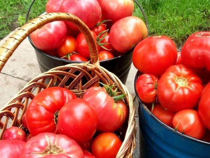 На фото: собранный урожай помидор