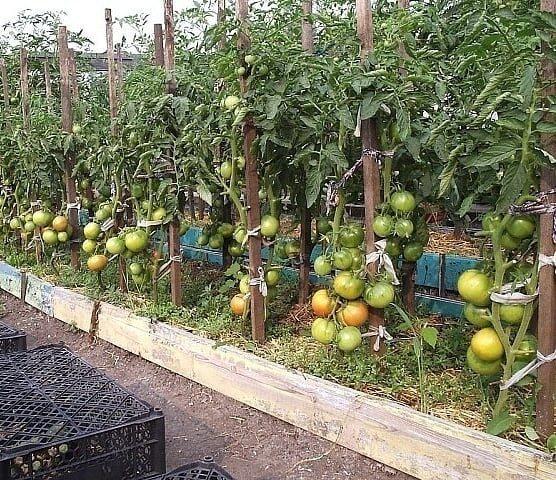 На фото: подвязка помидор в открытом грунте