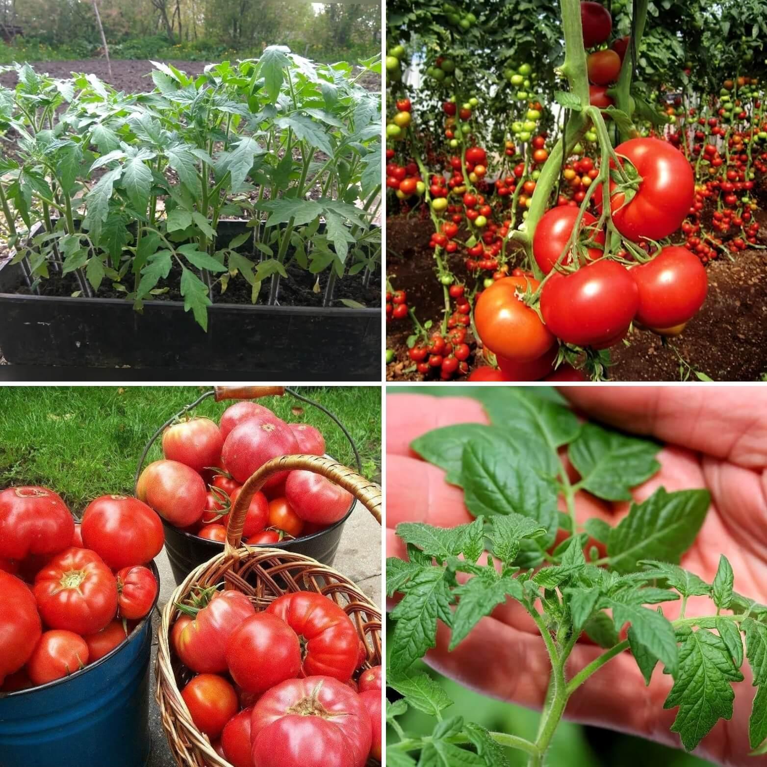 Как выращивать помидоры в открытом грунте и уход за ними