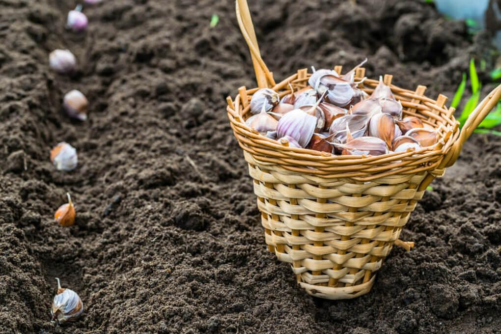 На фото: посадка чеснока осенью под зиму