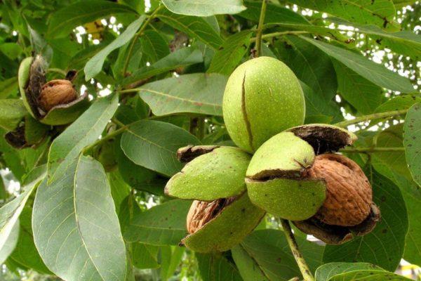 На фото: дерево грецкого ореха