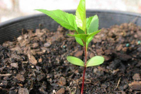 Как вырастить яблоню из семечка в домашних условиях