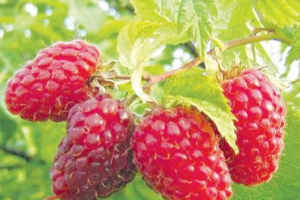 На фото: сорт малины Бабье лето