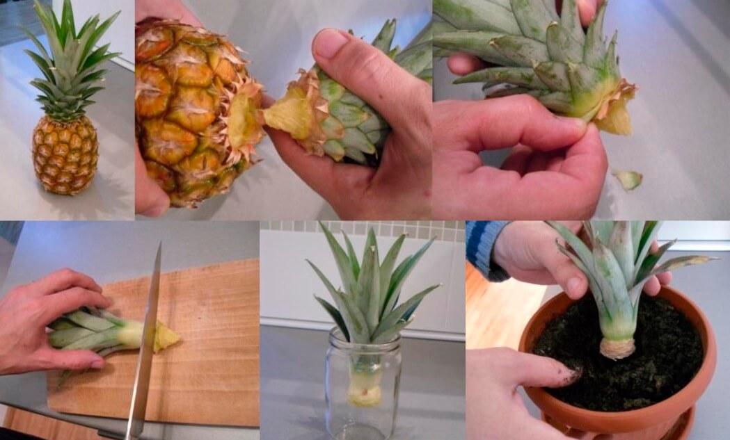 На фото: Как вырастить ананас из верхушки дома