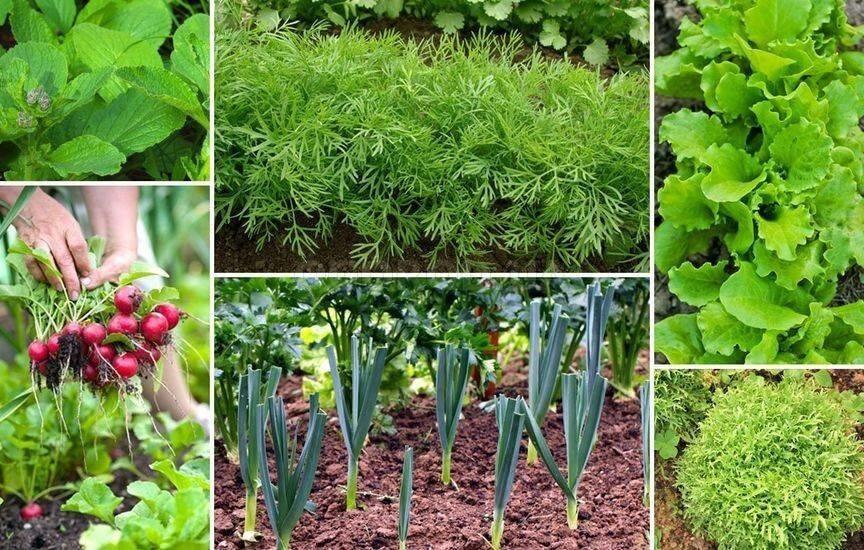 Какую зелень можно сажать в июле и августе
