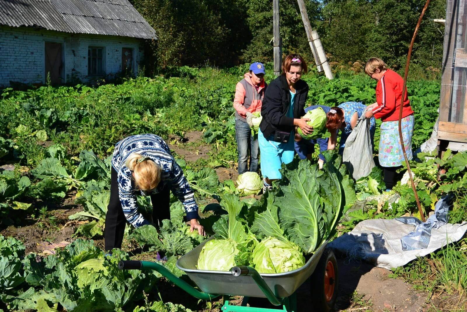 Сбор урожая на огороде