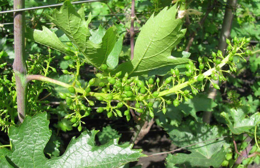 Завязи винограда