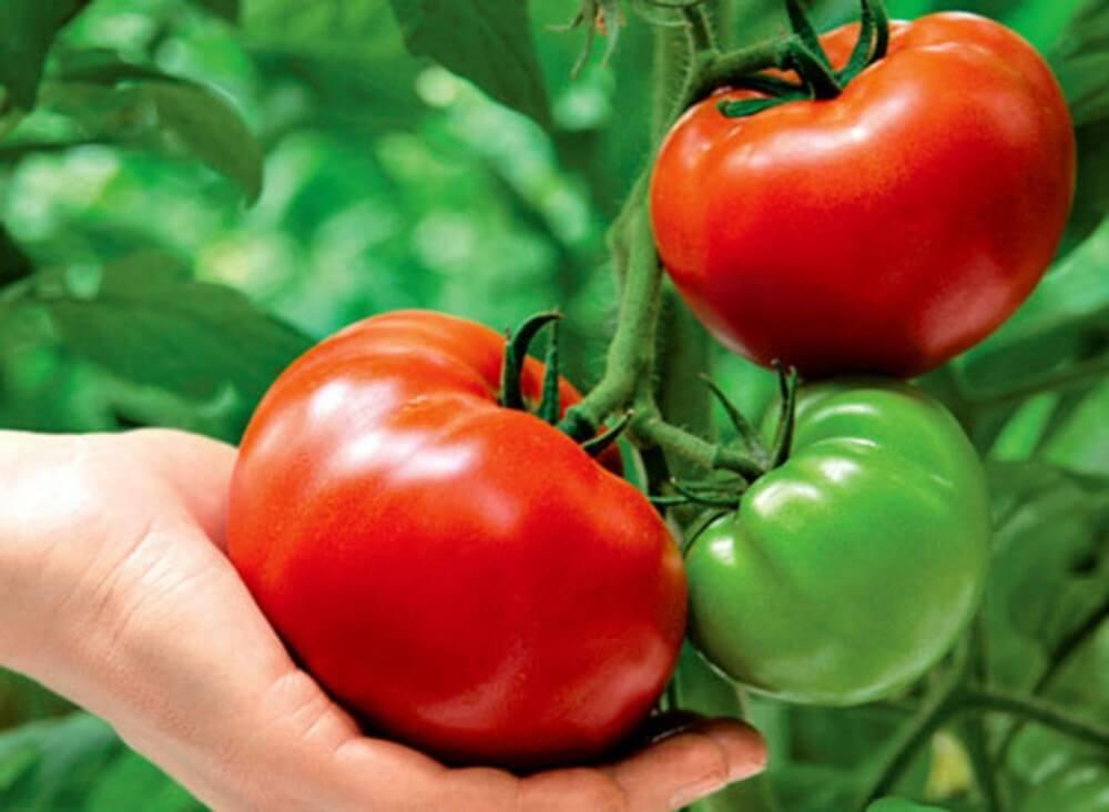 На фото: урожай помидоров