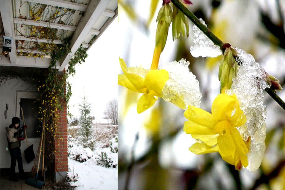 На фото: кустарник Зимний жасмин