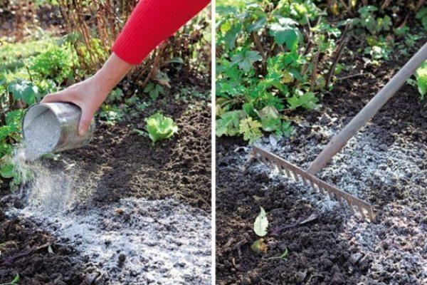 На фото: применение золы на огороде в качестве удобрения