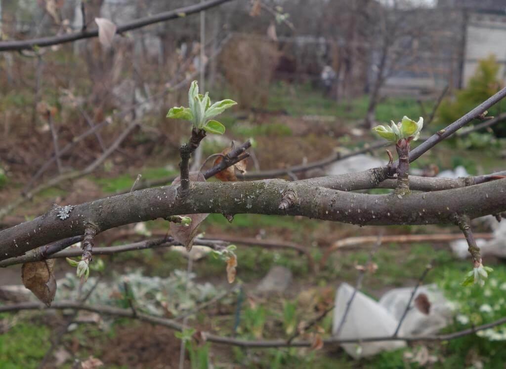 Почему не цветет и не плодоносит яблоня