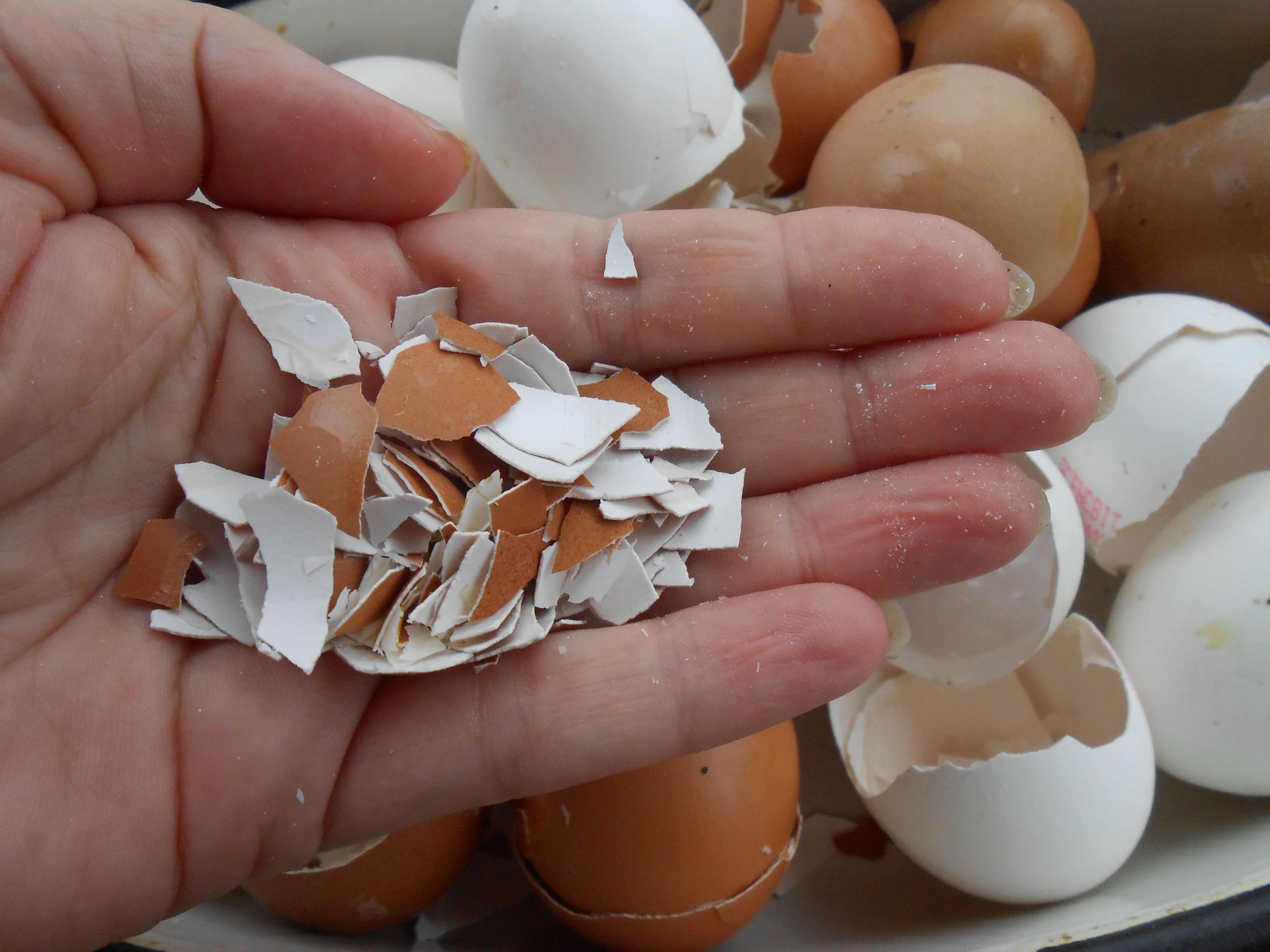 На фото: яичная скорлупа как удобрение (авторское фото)
