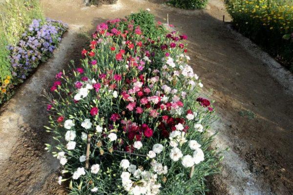Гвоздика: фото цветов на клумбе