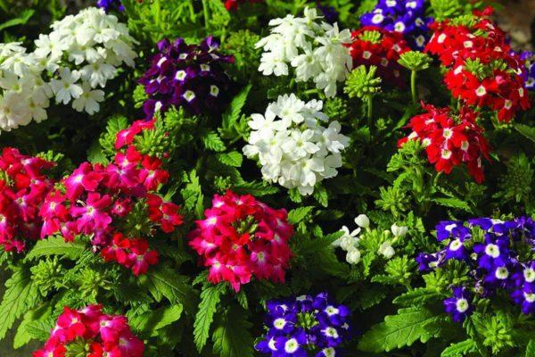 Вербена: фото цветов на клумбе