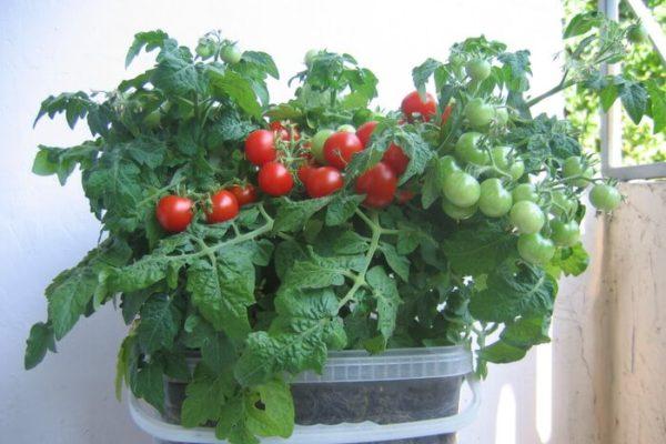 На фото: помидоры Бонсай