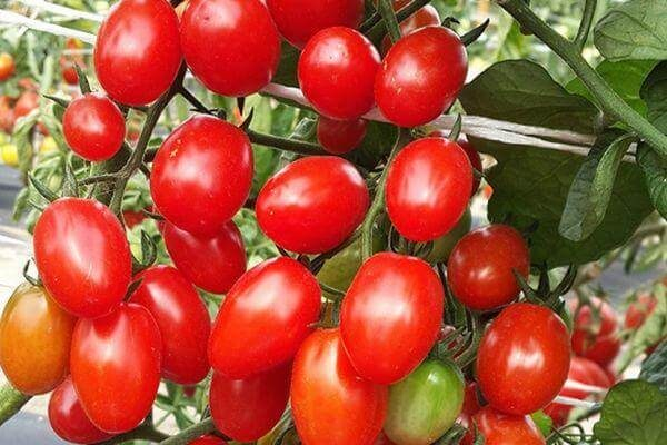 На фото: помидоры Кнопка