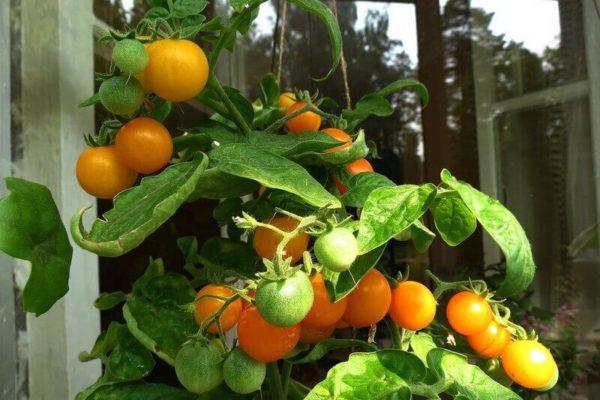 На фото: помидоры Пиноккио желтый