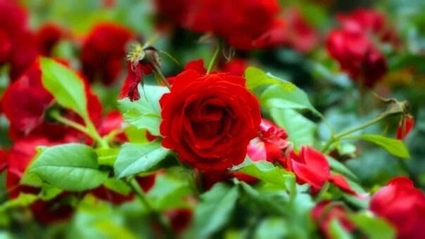 Как выращивать розы