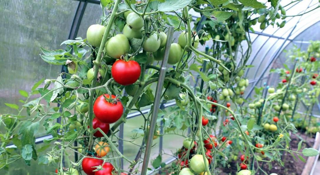 На фото: помидоры в теплице