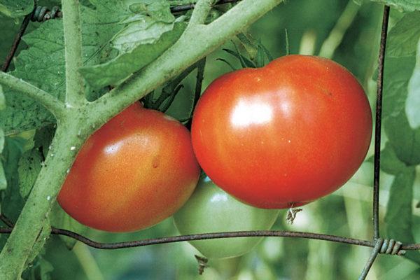 На фото: сорт томатов «Джина»
