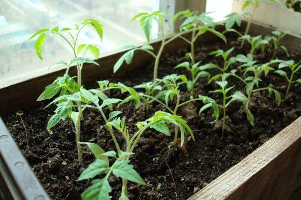 На фото: уход за рассадой томатов