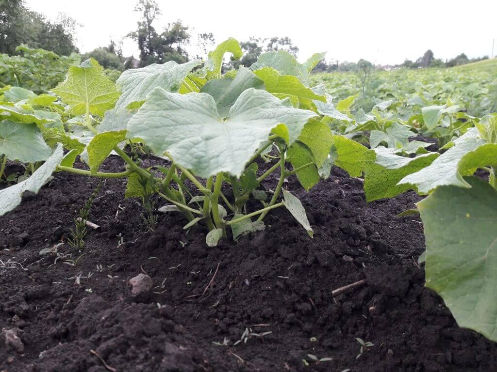 На фото: выращивание огурцов в открытом грунте