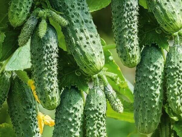 На фото: огурцы растут на грядке