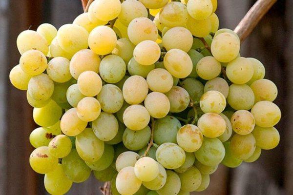 На фото: виноград сорта Кеша