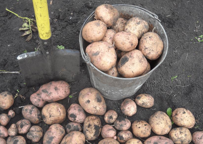 На фото: урожай раннего картофеля