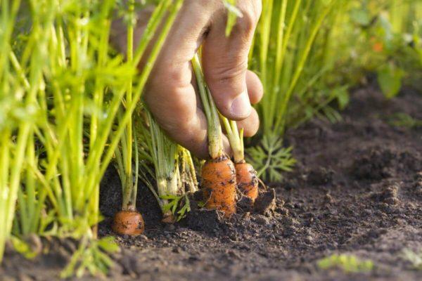 На фото: морковь на грядке