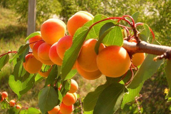 На фото: абрикосы на ветке