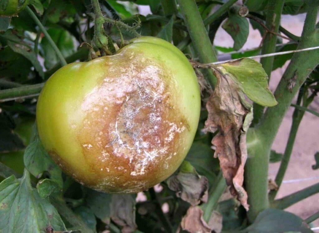 На фото: фитофтора на томатах
