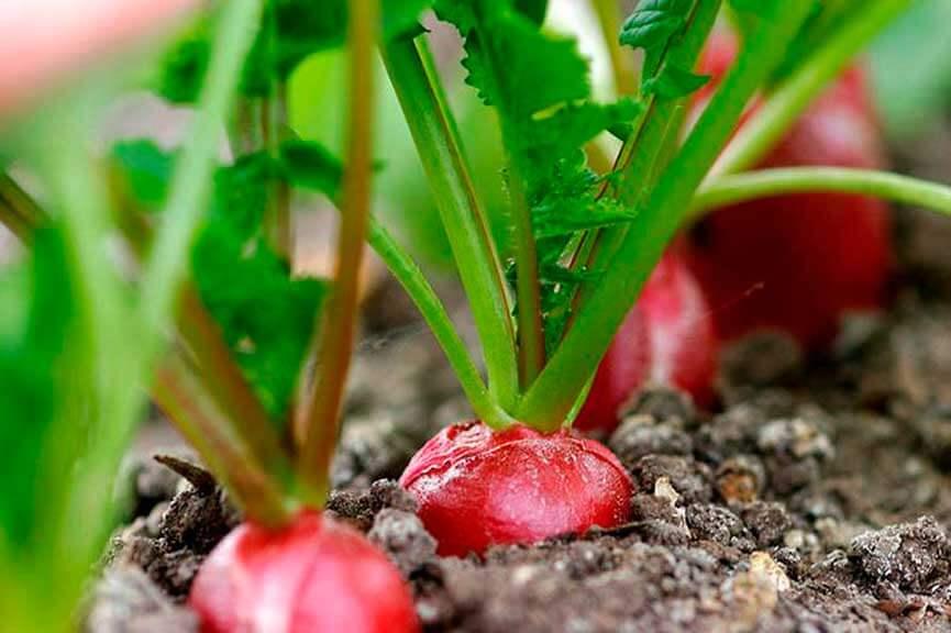 На фото: растущий редис