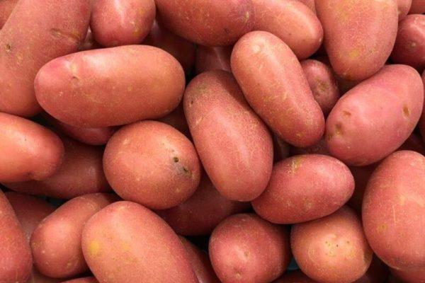 "На фото: сорт картофеля ""Розара"""