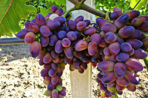 На фото: сорт винограда Байконур