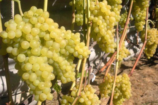 На фото: сорт винограда Кишмиш 342