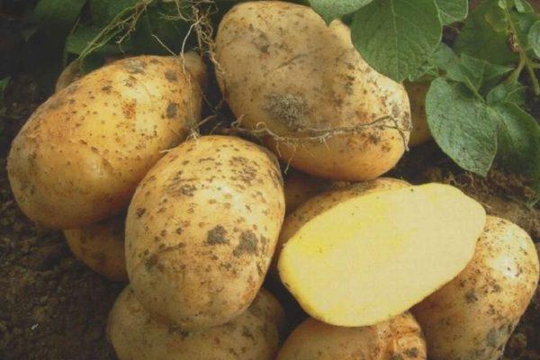 """На фото: сорт картофеля """"Удача"""""""