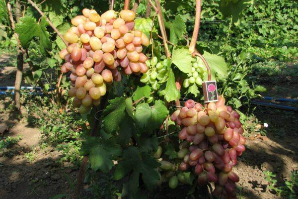 На фото: сорт винограда Виктор