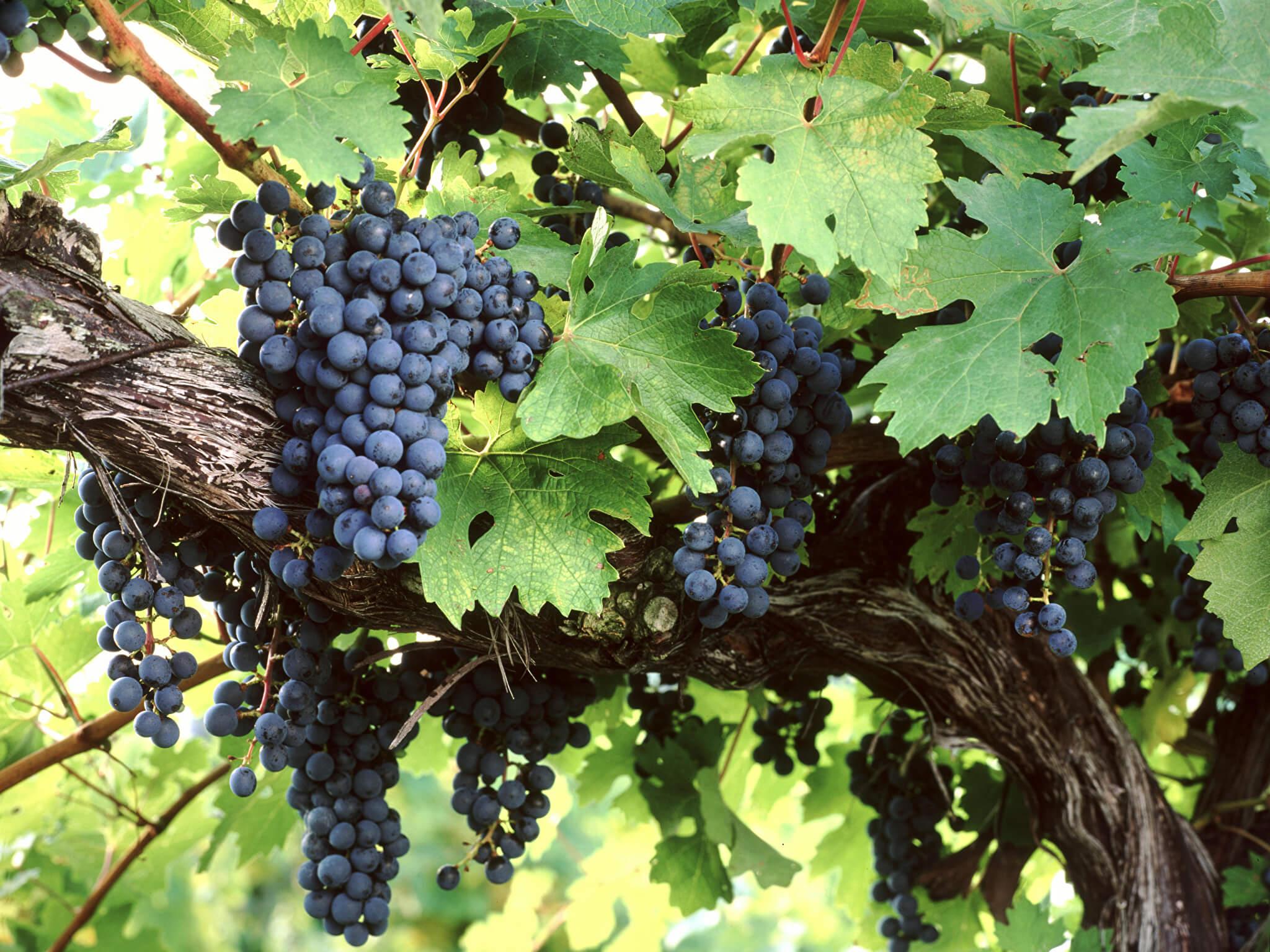 На фото: виноград растет на ветке