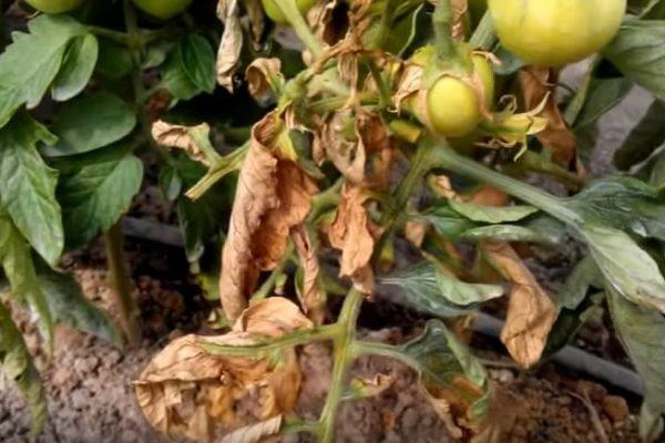 На фото: бактериальное увядание томатов